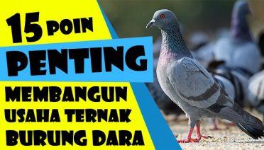 Ternak Burung Dara