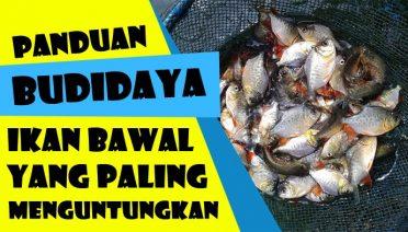 Budidaya Ikan Bawal